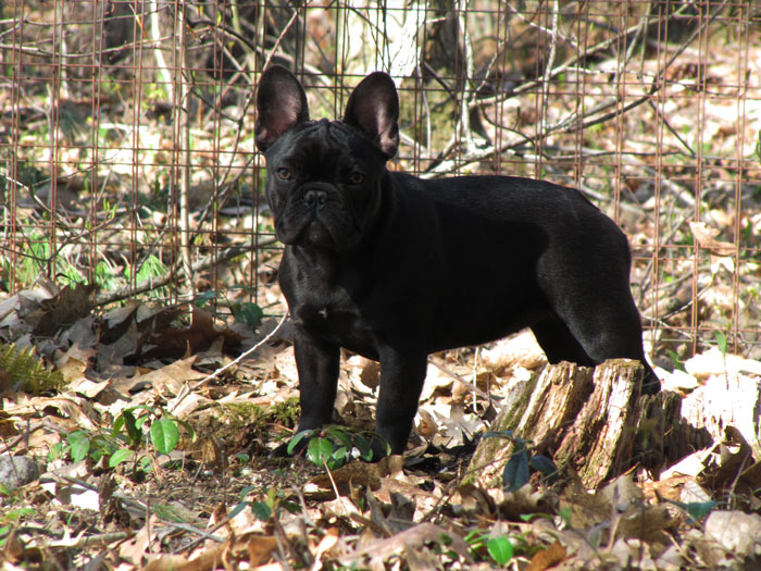 Female French Bulldog Named Angie