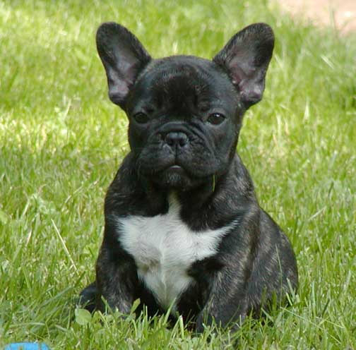 Brindle French Bulldog Pup